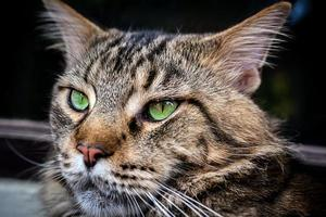 Closeup of Maine Coon black tabby cat with green eyes