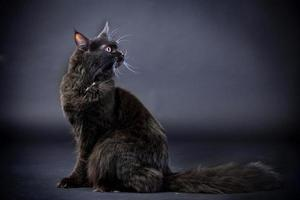 Black Maine Coon cat photo