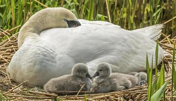Mute swan, Cygnus olor, on nest with Cygnets photo