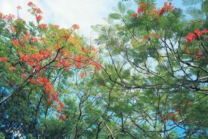 hermosa flor naranja delonix regia