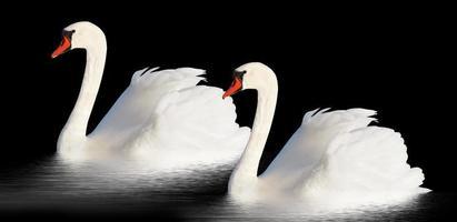 Two white swans. photo