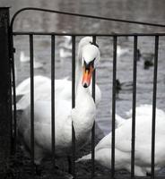cisnes foto