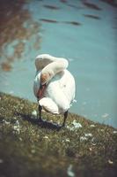 cisne foto
