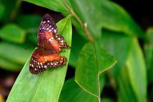 mariposa de pavo real roja en la naturaleza foto