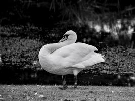 Squatting Swan photo