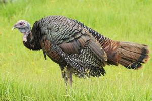 Wild Thanksgiving Day Turkey