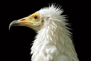Egyptian vulture photo