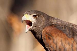 halcón enojado foto