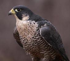 retrato de halcón peregrino foto