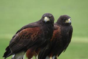dos aves rapaces esperando para cazar foto