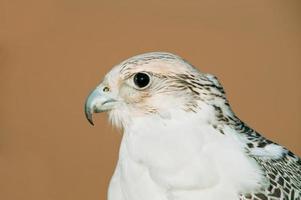 Falcon in desert photo