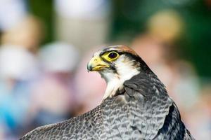 Lanner Falcon's Head