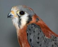 Closeup of a Falcon photo
