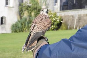 Peregrine falcon with owner