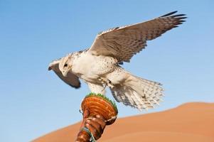 Falcon in a desert photo