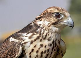 halcón saker