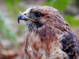 Falcão de cauda vermelha