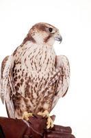 halcón saker aislado en blanco foto