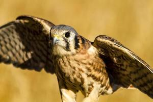 American Kestrel Falcon in Autumn Setting
