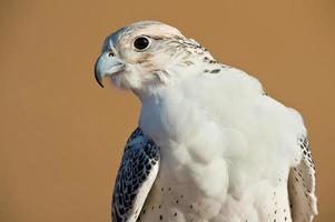 Falcon in desert