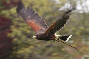 fantástica rapaz halcón marrón foto