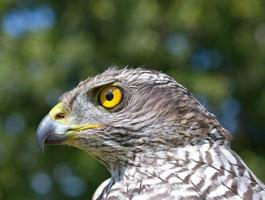 Northern Goshawk (Accipiter gentilis) photo