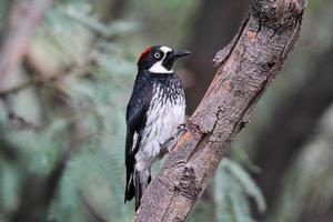Acorn Woodpecker (Melanerpes formicivorus) photo