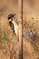 Woodpecker Looking For Food photo