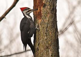 Foraging - Male Pileated Woodpecker