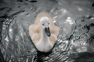 swan family cygnet photo