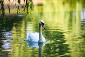 Beautiful young swans in lake photo