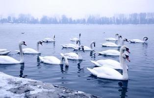 cisnes en el río danubio foto