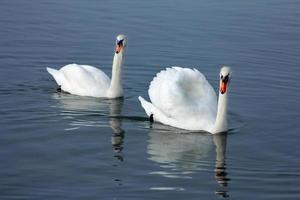 swan couple photo
