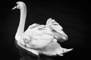 cisne blanco foto