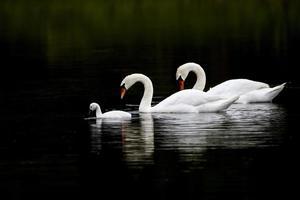 Swan Serenity photo