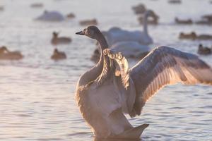 lago de los cisnes pájaros de invierno foto