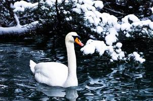 Swan on a lake in winter alpen environment on lake Bled photo