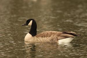 Canadian Goose On Lake
