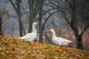 Pair of Geese Standing on Leaves