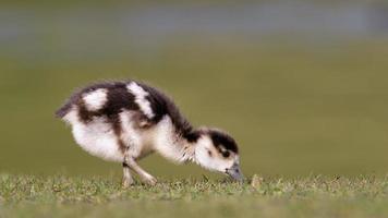 Egyptian Goose (gosling)