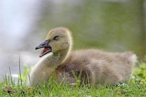 Sleepy Gosling