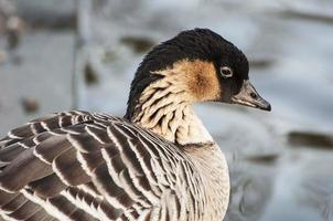 Goose - The Nene or Hawaiian, close up