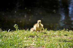 Gosling photo