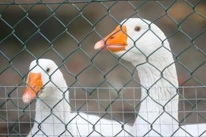 Two geese in cage photo