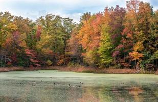 Canada Geese Swimming in Lake with Autumn Colors photo