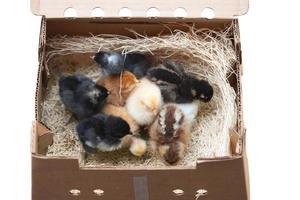 polluelos de pedido por correo