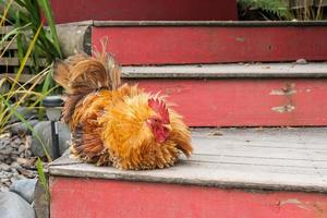 Pekin rooster sitting on stairs photo