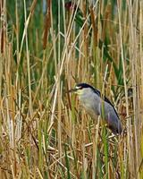 Black-crowned Night Heron in Cattails photo