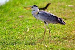 Grey Heron (Ardea cinerea) photo