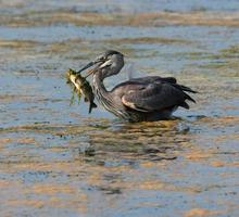 Great Blue Heron caught a big fish